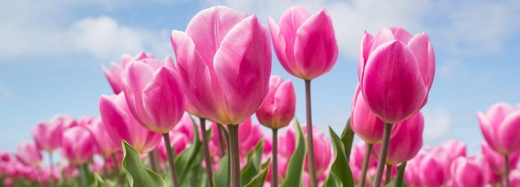 tulipanes-rosas-acido-hialuronico-comprar